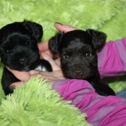 Mini Schnauzers for sale
